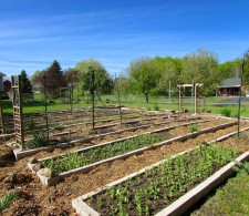 Another view of the mulched and planted garden, mid-May.