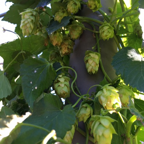 Put in some hops!