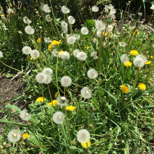 Incredibly healthy dandelions