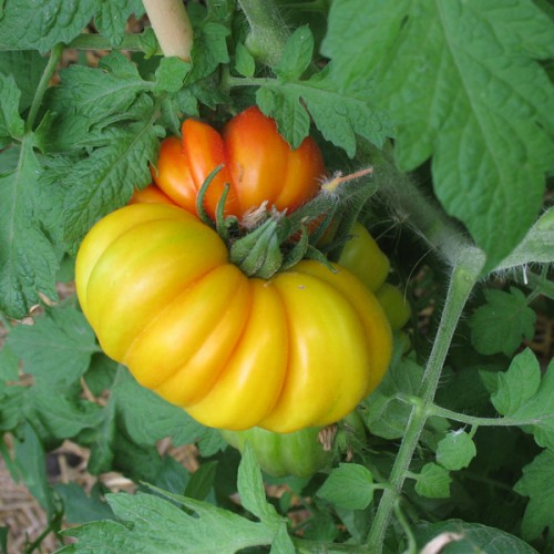 Marvel Striped Tomato