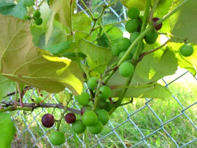 Fredonia Grapes growing on our fence