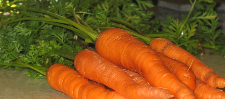Carrots picked late August