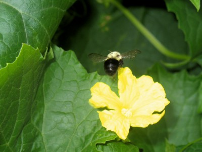 Trying to catch a bumblebee in motion... this is the only photo (of about 30) that wasn't blurry.