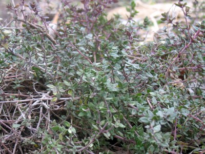 Thyme growing in the Minnesota Garden on March 21st
