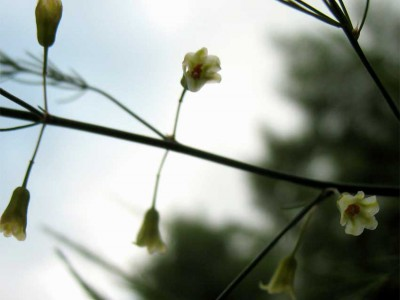 Flowering Asparagus