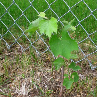 1-month old Grapes from Great River Vineyard