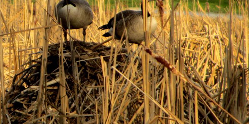Canada Geese on a Muskrat Den