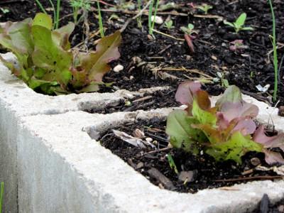 Lettuce in cement blocks