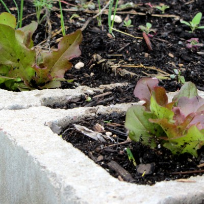 Lettuce in cement blocks
