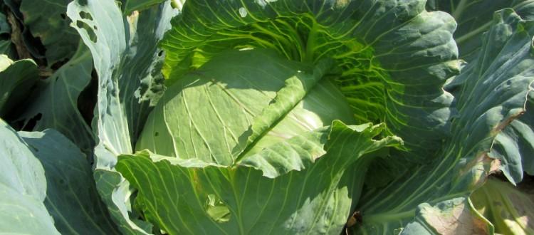 Emerald Cross Cabbage