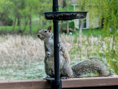 Squirrel at the bird feeder