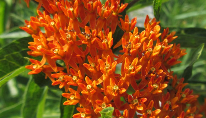 Ants on Butterfly Weed
