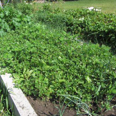 Purslane Garden Bed