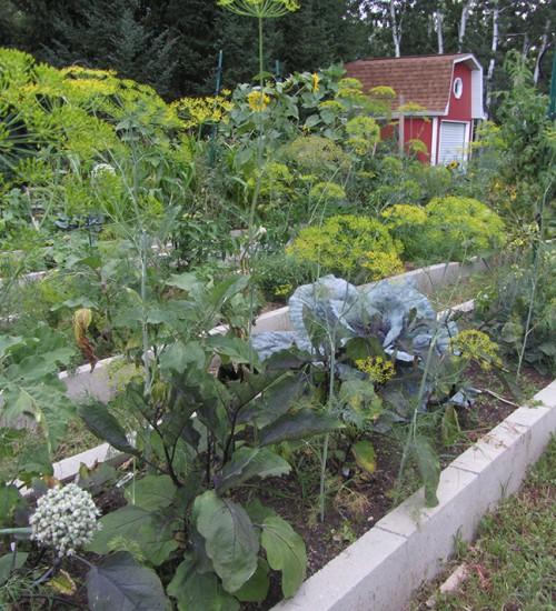 dill overruns the garden again