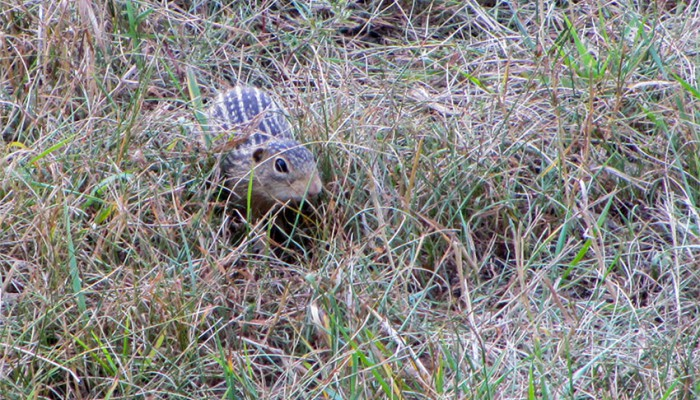 thirteen striped gopher