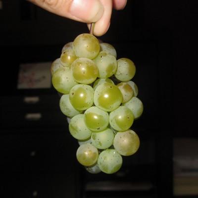 Somerset Seedless Grapes