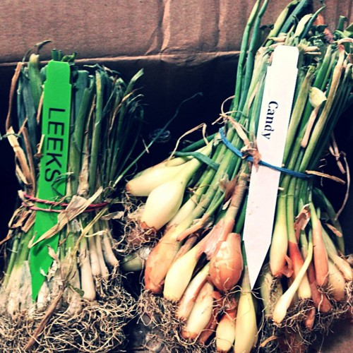 Leeks and candy onions from Territorial Seeds. (Growing fantastic!)