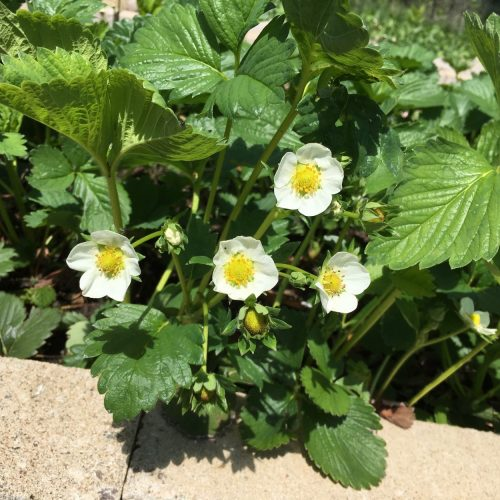 Strawberries are in full bloom