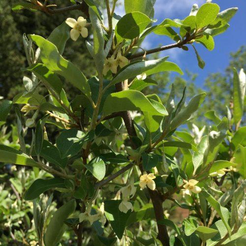 Flowering Goumi